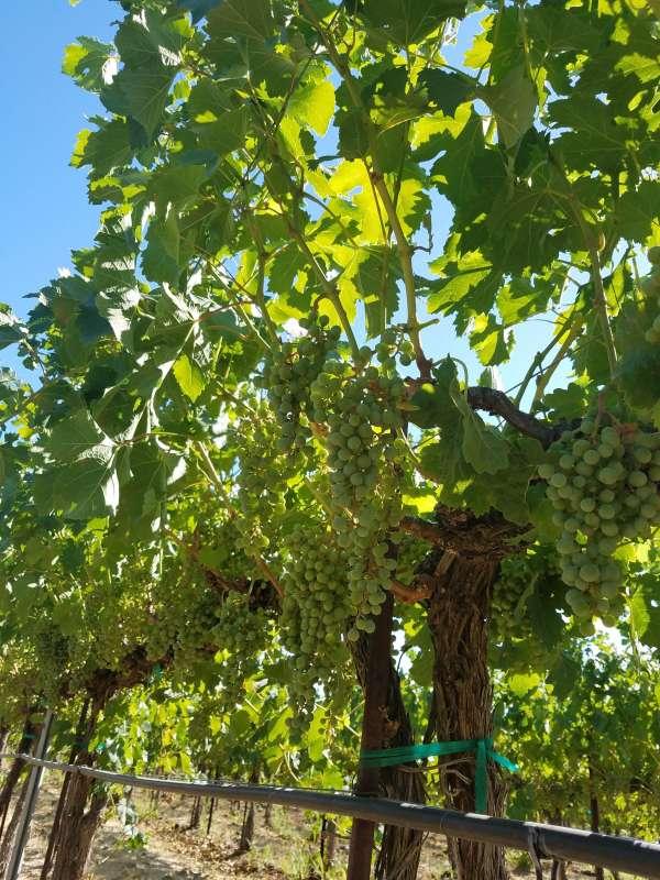 Weinbau Merlot