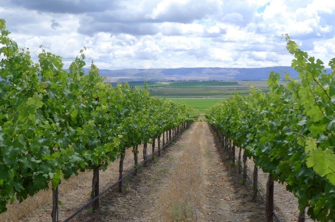 Stillwater Creek Vineyard
