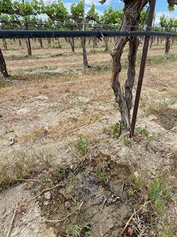 Weinbau Vineyard Cabernet Franc Drip Line Irrigation